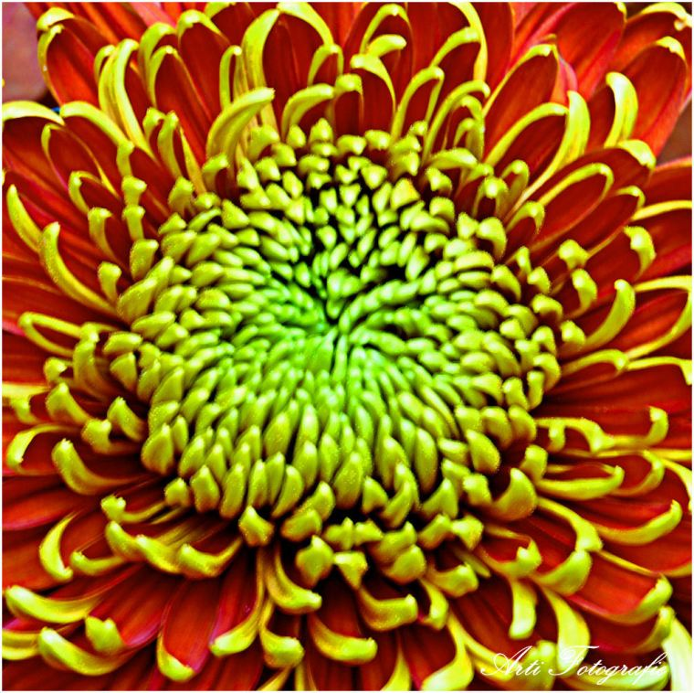 DSC_5251 -  Chrysanthemum